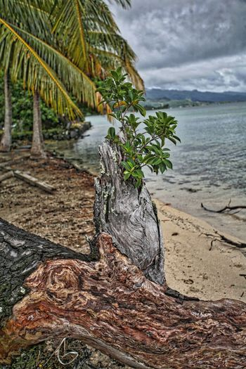 New life springs from storm damaged tree trunk on the island of Tahiti Storm Damaged Tree Water Plant Beach Sky Beauty In Nature Nature Cloud - Sky Land Tranquility Tree Sea Sand Tranquil Scene No People Scenics - Nature Day Growth Outdoors Plant Part