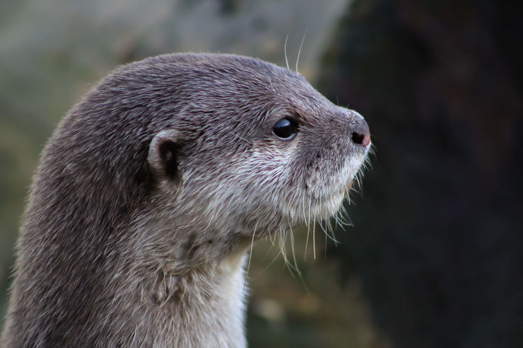 Animal Themes Animal Wildlife Animals In The Wild Close-up Day Focus On Foreground Mammal Nature No People One Animal Outdoors Portrait Short Clawed Otters