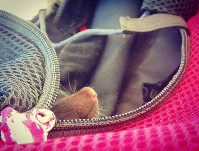 Rat Ratto Pet Pets Rodent Animal Animals Animali Domestici Muso Naso Nose Bag First Eyeem Photo