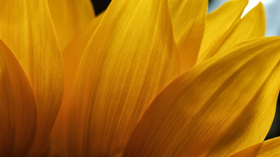 Close-up of yellow flower petals