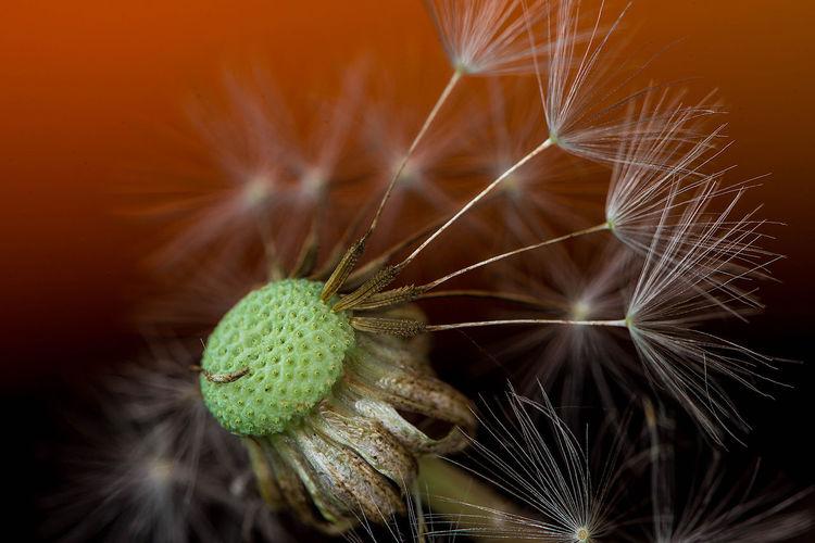 Extreme Close-Up Of Dandelion