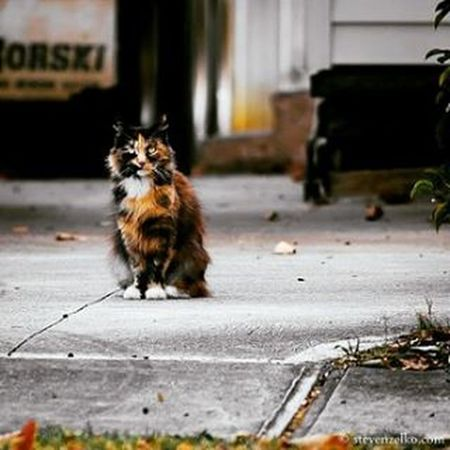 A Street Away She Stood With Eyes Full of Power A Gaze of Intent And Ear on Fire Cat Cats Animals Fierce Pets Straycat Straycat