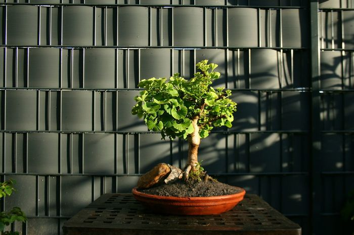 Light And Shadow No Edit No Filter In My Garden Bonsai Bonzaitree Eyeem Market Eyem Best Shots Nature_collection My Art ArtWork My Bonsai Gingkobiloba