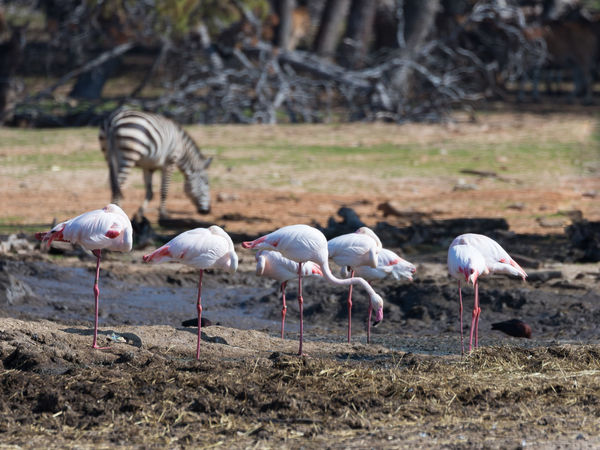 A group of pink flamingos (Phoenicopterus roseus) walk through the swamp in search of food Nature Ape Business Eating Grass National Park Ramat Gan - Tel Aviv Travel View Zoo Adaptation Animal Themes Attraction Biology Day Environment Israel Mammal Nature Population Predator Reserve Safari Tourism Wildlife