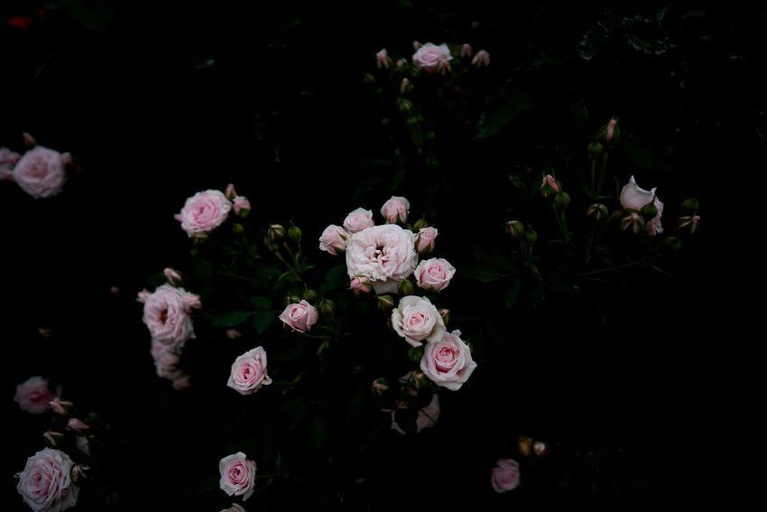 バラ公園に花びらの絨毯があると聞いて行ってみたら、掃除されてた。いつもタイミング悪い。 Beauty In Nature Dark Flower Flower Head Pink Color Rose Garden Roses Rose🌹 Rosé