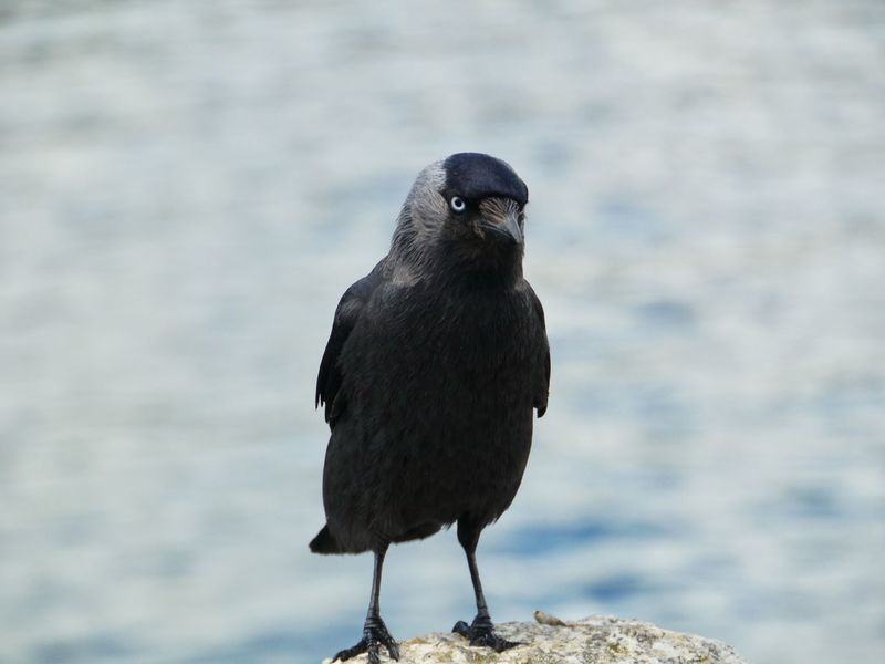 Blue Eyed Jackdaw Rabenvögel Black Feathers St Mawes Harbour Cornwall Perched Bird Blaue Augen Dohle Bird Animals In The Wild One Animal Animal Wildlife Animal Themes Perching Nature Raven - Bird Outdoors