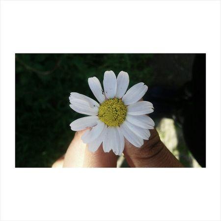 Aşk 😚 papatyalar kadar. Daisy
