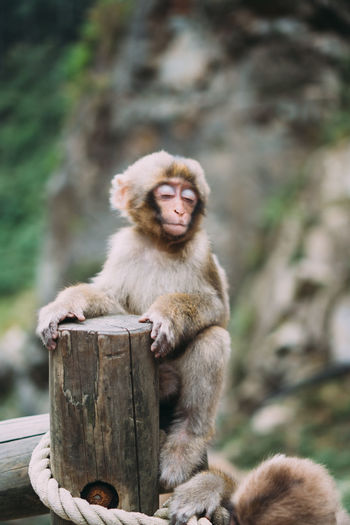 Portrait of monkey sitting on wooden post