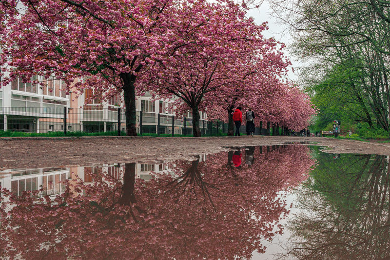 Cherry blossoms in park during rainy season