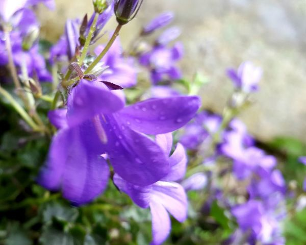 Campanula Campanules Bellflowers Purple Flower Beauty In Nature Close-up Flower Head Outdoors No People Fragility Petal Nature Plant Freshness Bokeh