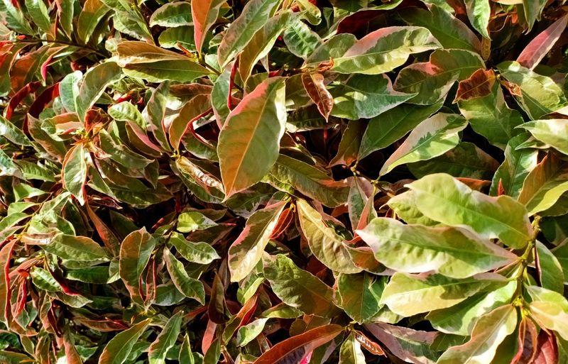 Greenred Leaf