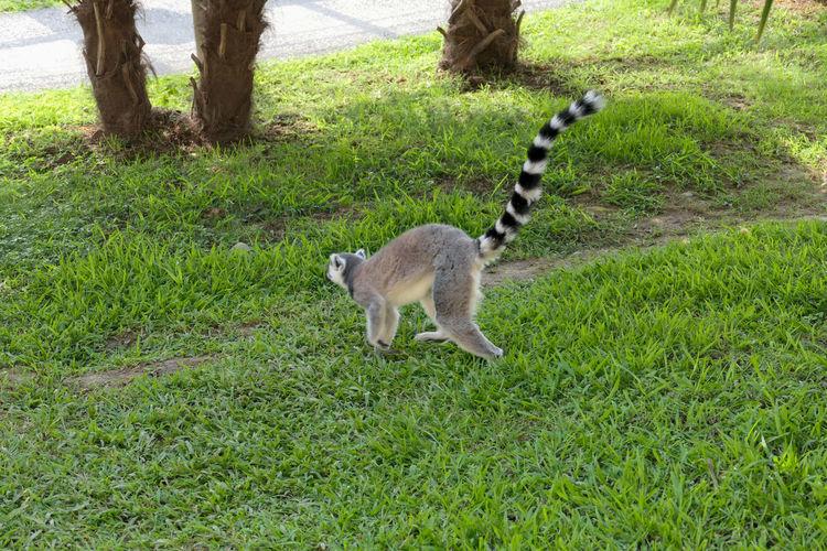 Lemur Young