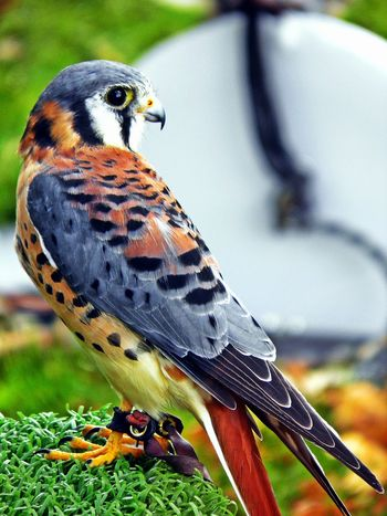 Check This Out Hanging Out Hawk Rehabilitation Bird Photography Birds