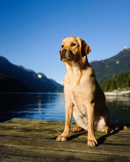 Yellow labrador retriever on wooden raft
