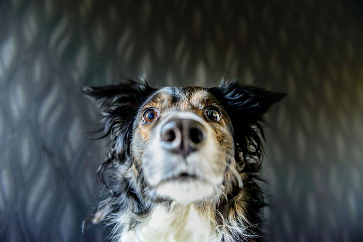 Closeup of Tess the Border Collie Animal Themes Border Collie Canine Close-up Closeup Day Dog Domestic Animals Front View Fur Hound Looking At Camera Mammal Nature No People One Animal Outdoors Portrait Fresh On Market 2017