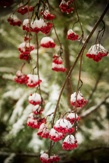 First snow Ukraine Chernobyl Chernobyl Exclusion Zone Shades Of Winter Red Fruit Winter Tree Hanging No People Branch Beauty In Nature