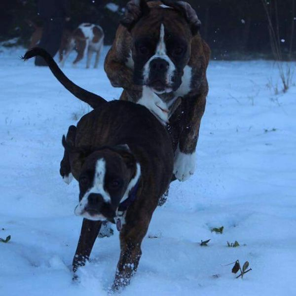 BóxerWeekend Boxerworld Dogslife I Love My Dog❤ Boxer Dogs Enjoying Life I Love My Boxer
