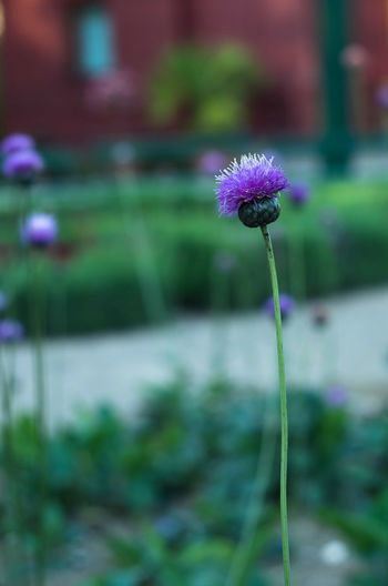 Beauty In Nature Blooming Close-up Day Flower Flower Collection Flower Head Flowers Focus On Foreground Fragility Freshness Growth Nature No People Outdoors Petal Plant Purple Stem Thistle