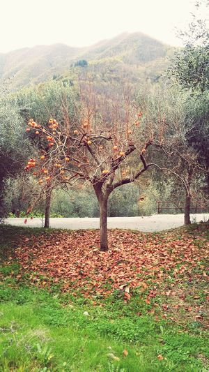 Countryside Nature Trees Kaki Cachi Vallearroscia Liguria EyeEm Liguria