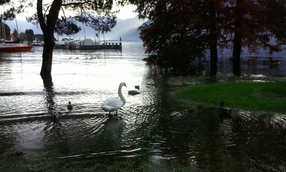 The Nature Rebels Duck Swans Lake Collection Animal_collection Birds_collection Water Lake View Lake View Locarno Boats Samsung X5