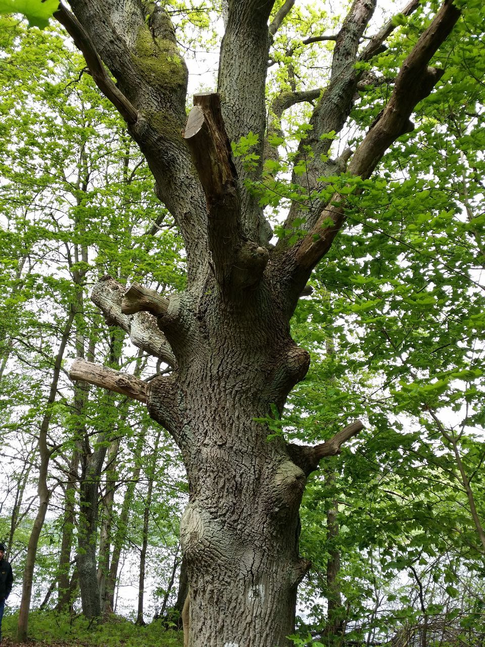 tree, tree trunk, branch, nature, growth, day, outdoors, no people, beauty in nature