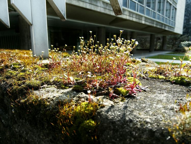 Nature On Your Doorstep Greenery Lichen Moss-covered Old Wall Urban Spring Fever Building Exterior Flowers Macro Photography Up Close Street Photography The Street Photographer - 2016 EyeEm Awards The City Light