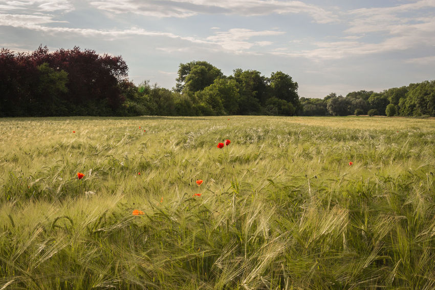 Agriculture Beauty In Nature Cereal Plant Crop  Day Field Grass Green Color Growth Landscape Nature No People Outdoors Plant Poppy Flowers Rural Scene Scenics Sky Tranquil Scene Tranquility Tree