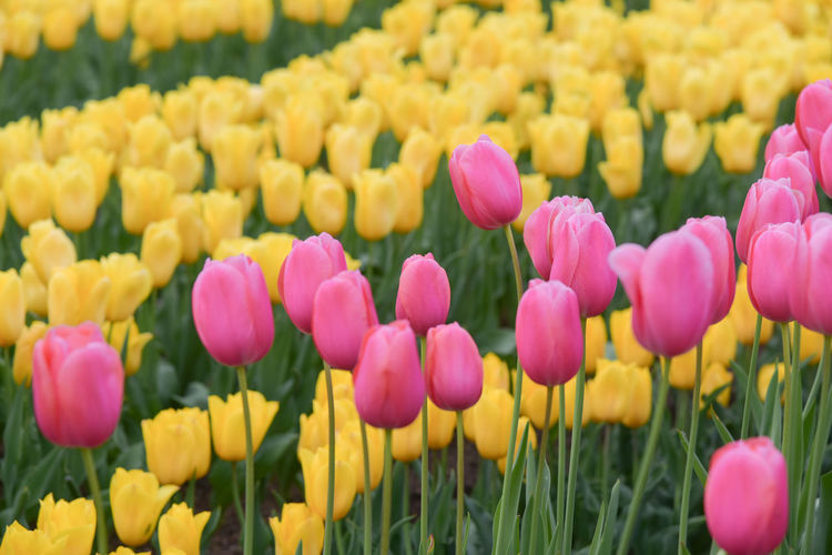 Close-up of tulips blooming on field