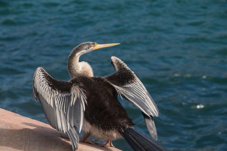 Animal Wildlife Bird Water Spread Wings No People Day Water Bird Wings Animal Themes Animals This Is Strength