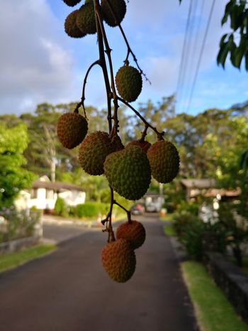 Tree Fruit Hanging Nut - Food Close-up Food And Drink Lychee Tropical Fruit