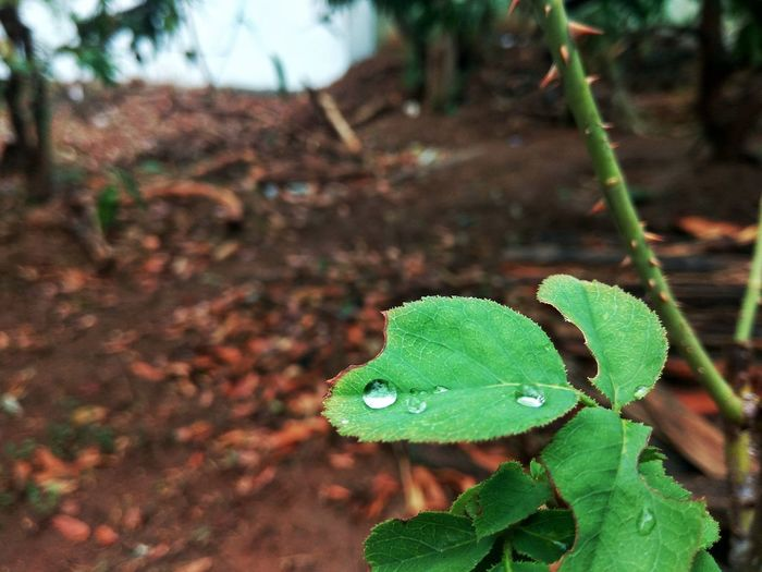 Water on leaves. Beauty In Nature Close-up Freshness Growth Leaf Nature Plant Water On Leaf