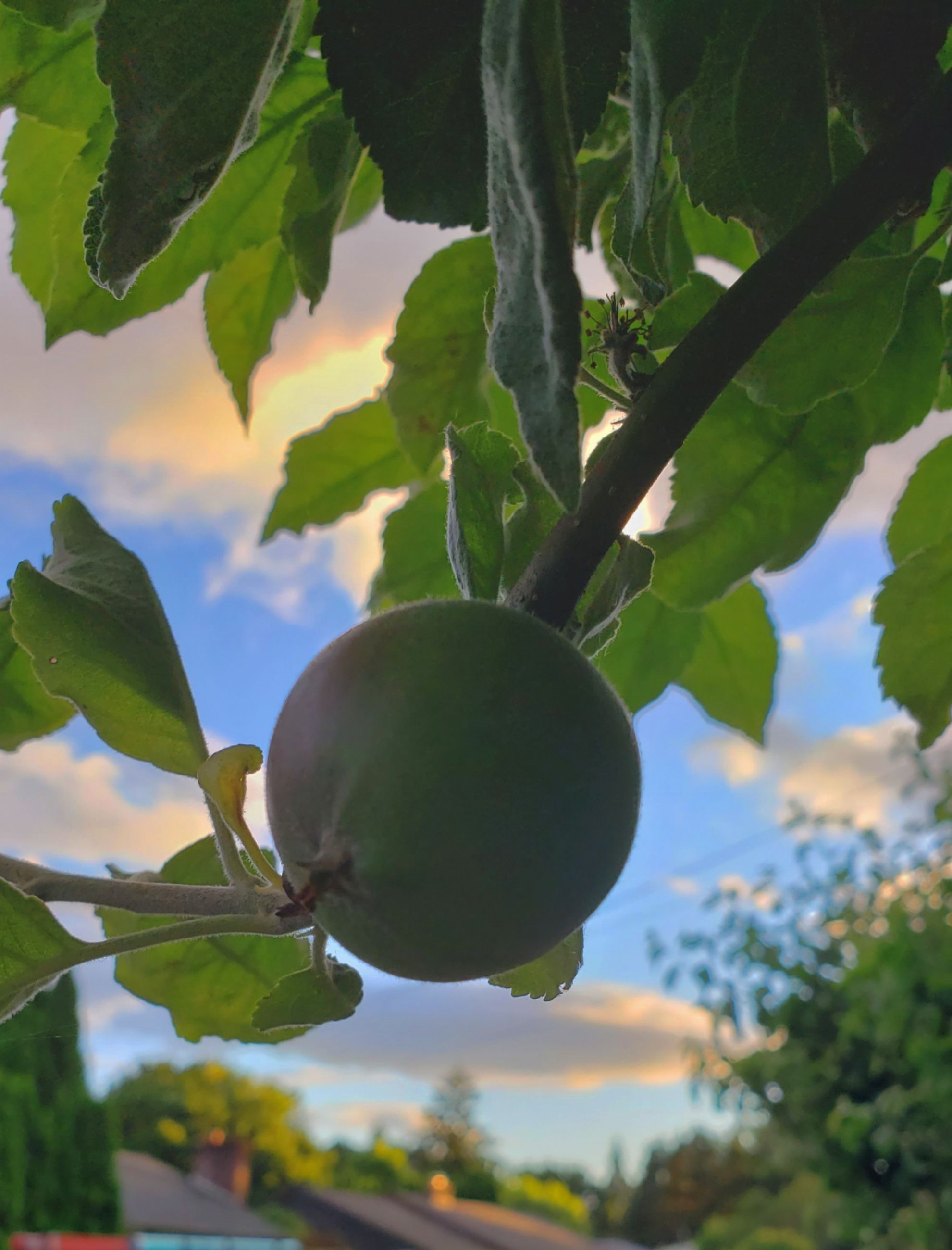 fruit, tree, food, food and drink, healthy eating, plant, green, branch, leaf, plant part, growth, produce, nature, agriculture, freshness, flower, wellbeing, fruit tree, no people, hanging, outdoors, ripe, day, focus on foreground, close-up, sky, organic, low angle view, landscape, crop