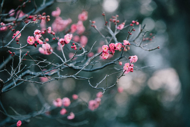 Growth Plant Flowering Plant Flower Nature Pink Color Beauty In Nature Freshness Fragility Vulnerability  Day Focus On Foreground Outdoors No People Selective Focus Tree Branch Close-up Plant Part Petal Flower Head Spring Cherry Blossom