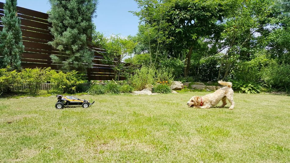 Dog VS Machine Relaxing S6 Edge Photography Pet Photography  Mydog Yard Grass My Backyard Play Playing Animals Animal Themes Remote Control Car