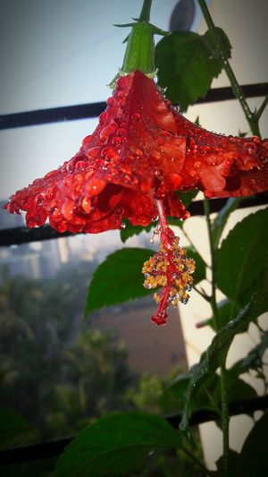 Nature Plant Growth Red Beauty In Nature Outdoors No People Day Close-up Leaf Flower Freshness Fragility mobileclick