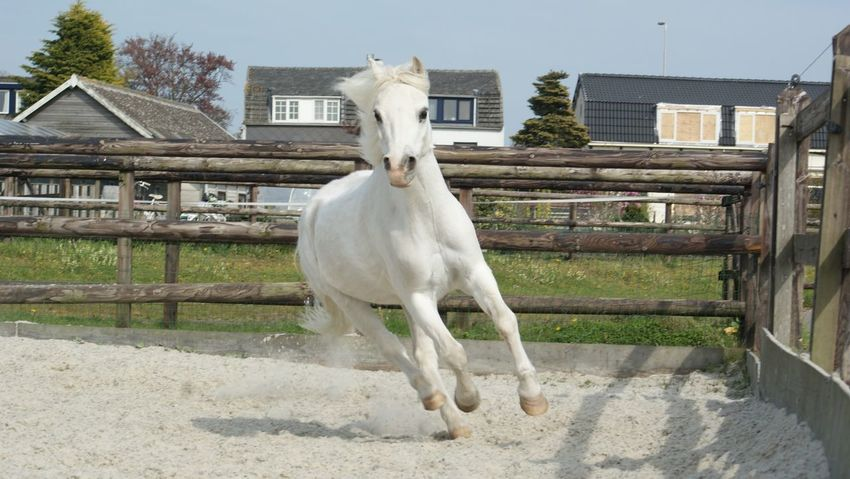 Horse White Pony Gallop
