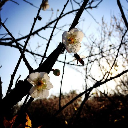 Flower Nature Fragility Beauty In Nature Petal Growth Flower Head Freshness No People Sky Outdoors Springtime Close-up Blossom Low Angle View Day Tree Branch Plum Blossom