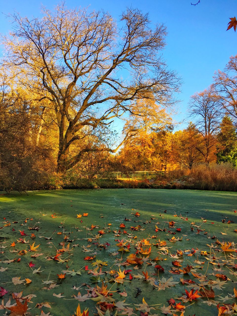 autumn, change, leaf, tree, beauty in nature, nature, orange color, tranquility, scenics, day, outdoors, no people, tranquil scene, maple leaf, fallen, maple, field, growth, bare tree, branch, lake, sky, grass