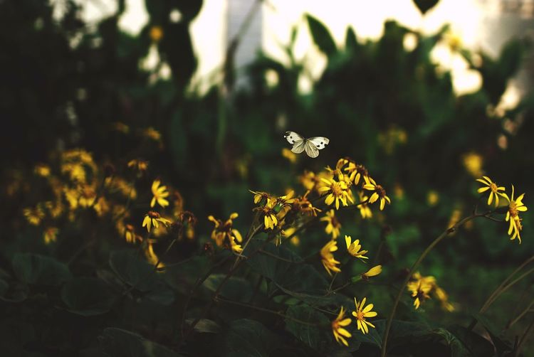 Butterfly hovering on yellow flowers