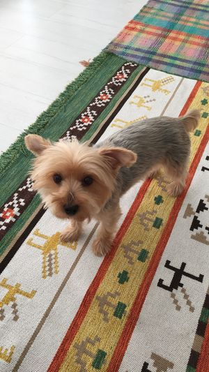 Cute little dog (yorkshire terrier) is looking on you. Looking Indoor Adorable Little Cute Animal Dog Pet Yorkshire Terrier