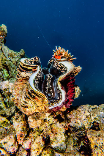 Tridacna ocean clam in the Red Sea, colorful a.e Animal Wildlife Sea Animals In The Wild Animal Animal Themes Underwater Sea Life Water UnderSea Marine One Animal Invertebrate Nature No People Close-up Coral Beauty In Nature Shell Swimming Outdoors