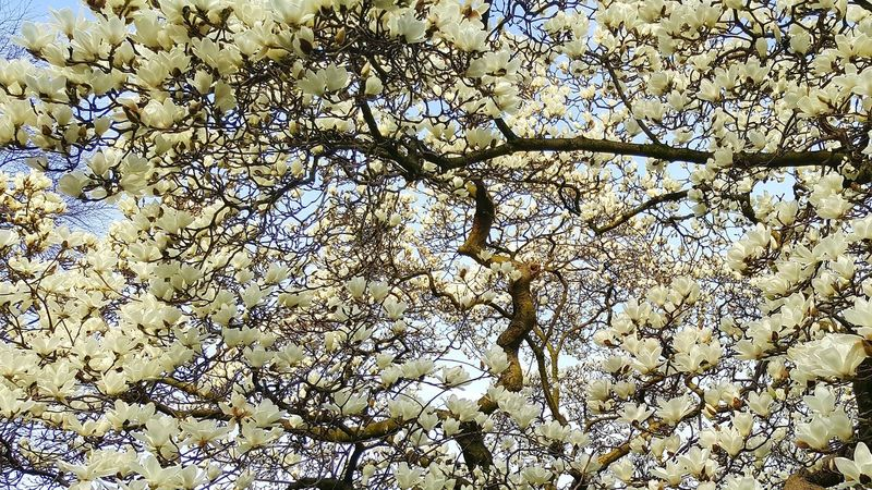 Full Frame No People Backgrounds Tree Nature Close-up Outdoors Beauty In Nature Day Blooming Trees Trees Blooming Spring Spring Time Flower Flowers White Flowers