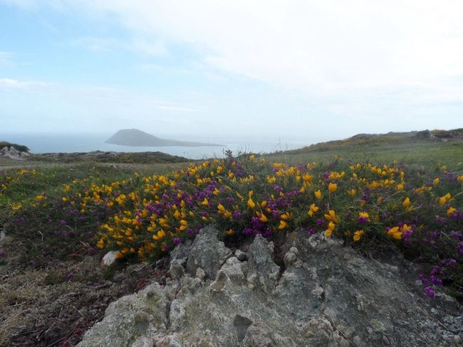 Views of Bardsey Island from the farthest point of the llynpeninsula, North Wales coast Spectacular View Sea And Sky Gorse Flowers Purple Flower Yellow Flower Llynpeninsula
