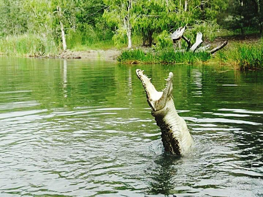 Crocodile Wildnature Australia Danger Zone Wildlife Wild Animal Crocodilepark Amazingthings