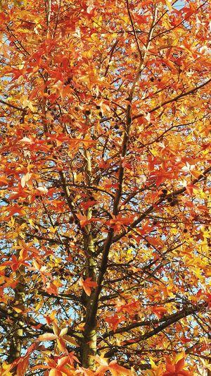 Platano Tree II
