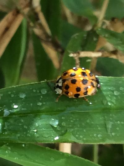 #Ladybug#wet#greenbamboo#nature#iPhone6#naturerules#insect#outdoors Insects Collection