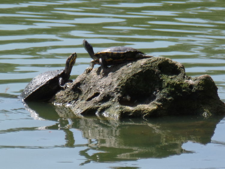 Mypic Turtle On A Rock 2turtles Nature Photography Water Rock Ocala Florida Eye4photography  Tuscawilla Park Natural Beauty Turtle 🐢 Turtle Love Naturelovers NiceShot Awesomeshot CarmenVazquezPhotography Beautiful View Taking Photos MyPics