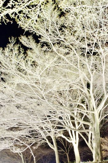🌲white trees