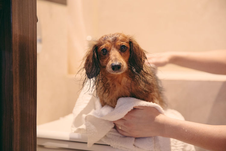 Cropped hands of woman wiping wet dog on table in bathroom