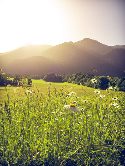 Blooming herbs in a field with mountains of the bavarian alps in the background with the peack of Wallberg mountain. Scharling, Bavaria, Germany, June 2019 Germany Tergernsee Wallberg Beauty In Nature Plant Environment Tranquility Landscape Growth Scenics - Nature Tranquil Scene Land Field Nature Sky Mountain No People Outdoors Bavaira Bavarian Alps Bavarian Landscape Herbs Blooming Sunlight Agriculture Grass Rural Scene Mountain Range Green Color Sun Lens Flare Plantation Bright